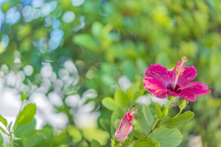 Red hibiscus blooming flower on a beach of Naha City in Okinawa island in Japan.