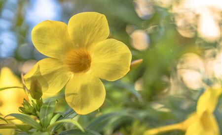 Yellow Alamanda tropical flowering tree of the apocynaceae family in the Naha City in Okinawa island in Japan.