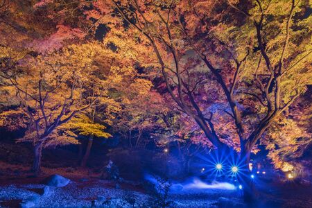 Autumn night lightup of the maple forest of the Rikugien Garden of Tokyo. 스톡 콘텐츠