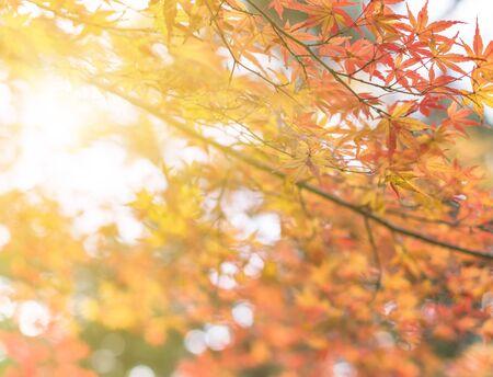 Rays of sun passing through the beautiful autumn colors of Japanese maple tree iroha momiji leaves in Yoyogi public park in Japan