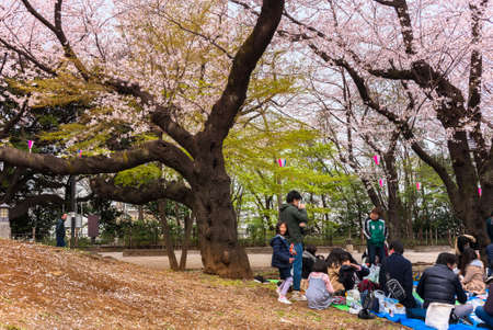 tokyo, japan - march 30 2020: Sitting of Japanese families enjoying Somei Yoshino pink Cherry blossoms trees of Asukayama Park at Oji city during the Hanami Spring Festival in the Kita ward of Tokyo. 에디토리얼