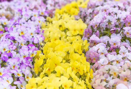 Close up on yellow and purple pansy flowers symbol of happiness and remembrance. Standard-Bild