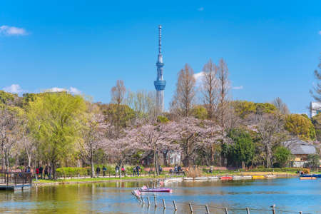tokyo, japan - march 31 2020: Shinobazu pond of Kaneiji temple surrounded by cherry blossoms trees where people enjoying Ueno park hanami festival with the Japan tallest tower Tokyo Skytree in back.