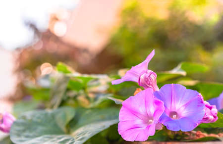 Close-up on pink and purple ipomoea nil knows also as japanese morning glory blooming flowers on a bokeh background during the iriya asagao market of Tokyo in summer. Stok Fotoğraf