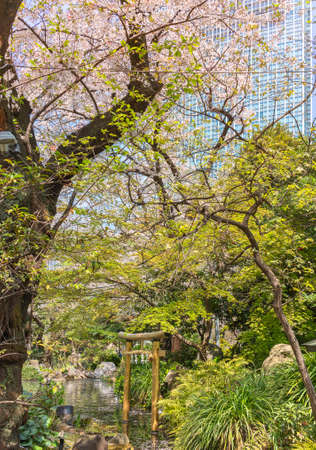 tokyo, japan - march 25 2021: Large Yoshino cherry blossoms tree overlooking a gold foil Japanese torii gate adorned with a sacred shimenawa straw rope in the pond of Atago shrine.