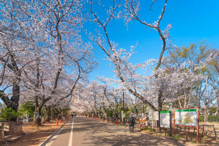 tokyo, japan - march 30 2021: Main aisle of Yanaka cemetery overlooked by large yoshino cherry blossoms with tourists walking down to the Tennoji temple and a guide map signboard. Sajtókép