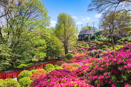 tokyo, japan - april 16 2020: Overview of the colorful garden dedicated to the topiary art of rhododendron flowers in the Shintoist Nezu shrine during the azalea festival or tsutsuji matsuri. Editöryel