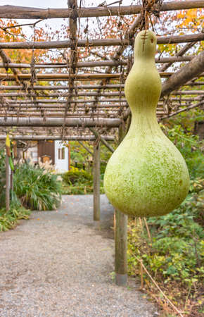 tokyo, japan - november 13 2020: Closeup on a Japanese Calabash also known as bottle gourd, white-flowered gourd, long melon or birdhouse gourd below the pergola of the Mukojima-Hyakkaen Gardens.