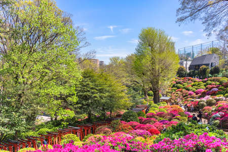 tokyo, japan - april 16 2020: Tunnel of sacred torii gates along the colorful hill covered by Japanese rhododendron flowers during the azalea festival or tsutsuji matsuri in the Shintoist Nezu shrine.