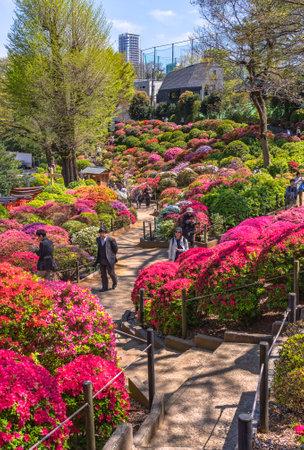 tokyo, japan - april 16 2020: Japanese people strolling along the colorful hill of Shintoist Nezu shrine garden covered by rhododendron flowers during the azalea festival or tsutsuji matsuri. Editöryel