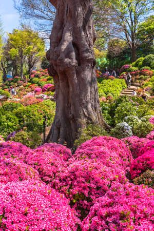 tokyo, japan - april 16 2020: Tree trunk surrounded by shrubs of pink rhododendron flowers on the colorful hill of Japanese Shintoist Nezu shrine garden during the azalea festival or tsutsuji matsuri.