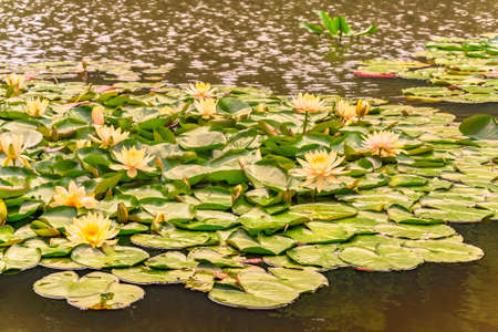 tokyo, japan - june 11 2021: South Pond or minami-ike of the Meiji Jingu Inner Garden dedicated to emperor Meiji with Japanese yellow water lilies nenuphar lotus flowers blossoming.