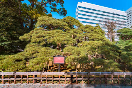 tokyo, japan - april 09 2021: Giant black pine called 300-year pine planted by the sixth Shogun Tokugawa in the garden of the Japanese Hama-Rikyu gardens famous as National designated scenic spot.