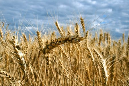 Ripe yellow wheat with stalks by grains before harvest under blue sky Stock Photo - 4422099