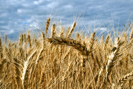 Ripe yellow wheat with stalks by grains before harvest under blue sky Stock Photo - 5080205