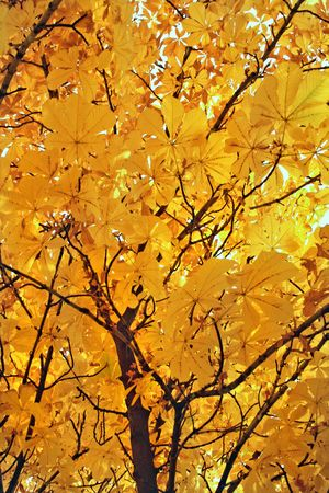 crone: Fine paints of autumn. A yellow crone of a maple