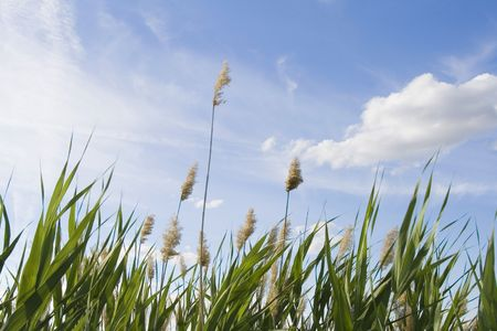 High reed against cloudy sky in wind day Stock Photo - 6246436