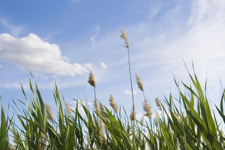 High reed against cloudy sky in wind day Stock Photo - 6390654