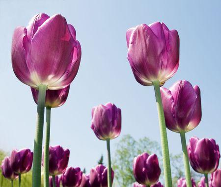 Purple flowers tulips close-up background Stock Photo - 7494708