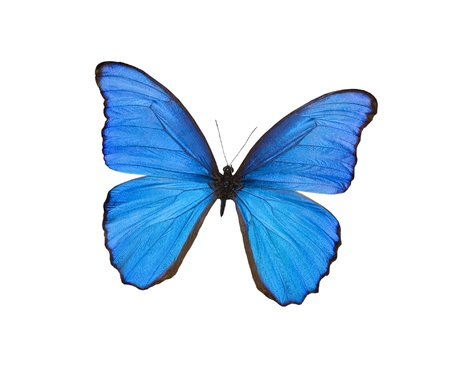 mariposa: Blue butterfly isolated on white