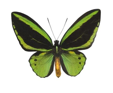 白で隔離される緑蝶