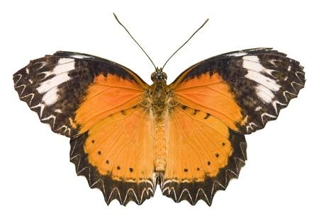白で隔離されるオレンジ色の蝶