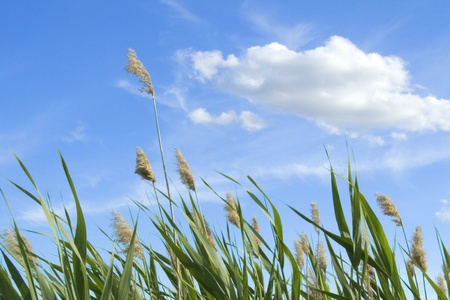 High reed against cloudy sky in wind day Stock Photo - 9657079