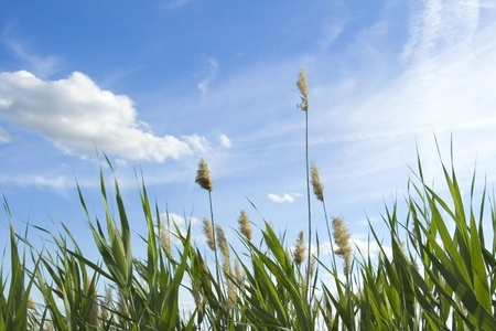High reed against cloudy sky in wind day photo