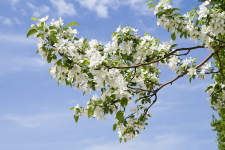 apricot tree: branch of apple tree with many flowers over blue sky Stock Photo
