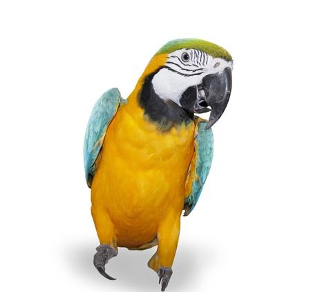 白地に青と黄色のコンゴウインコ