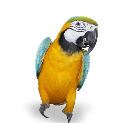 studio zoo: Blue-and-yellow Macaw over white background Stock Photo