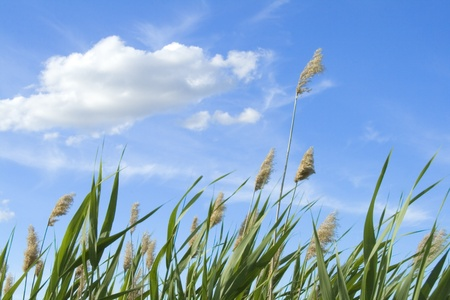 High reed against cloudy sky in wind day Standard-Bild