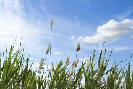 High reed against cloudy sky in wind day Stock Photo - 9727527