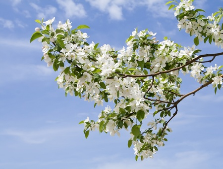 branch of apple tree with many flowers over blue sky Stock Photo - 9878498