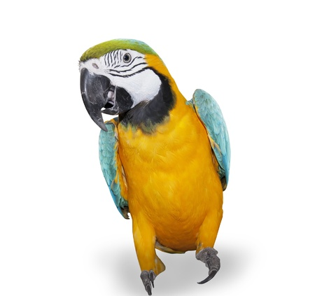 Blue-and-yellow Macaw over white background Banco de Imagens