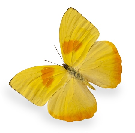 Yellow butterfly isolated on white photo