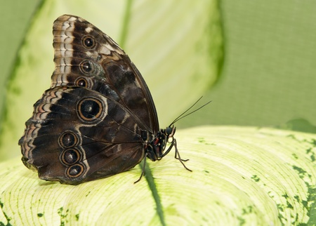 Big tropical butterfly sitting on a green leave photo
