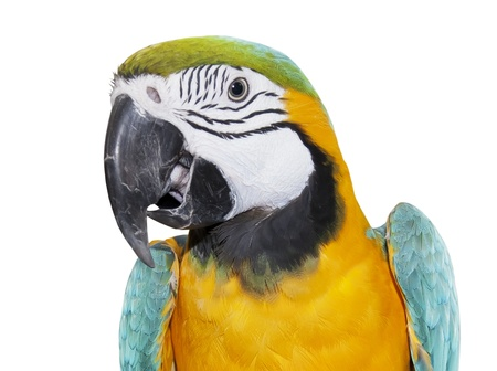 Blue-and-yellow Macaw over white background photo