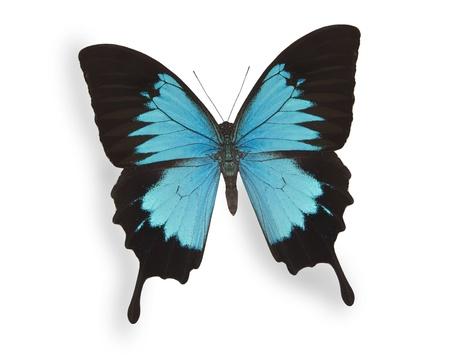 白で隔離される青い蝶