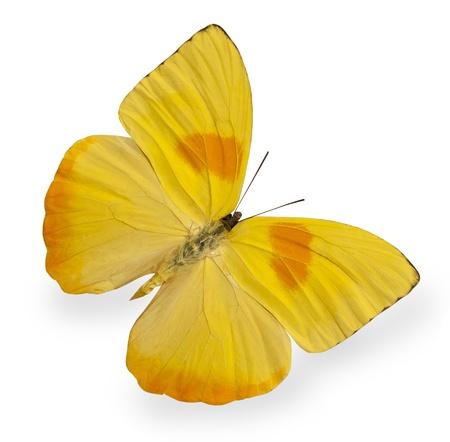 白で隔離される黄色の蝶 写真素材