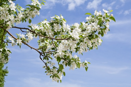 branch of apple tree with many flowers over blue sky photo