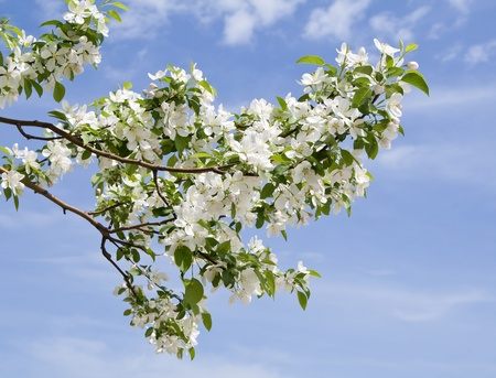 apple blossom: branch of apple tree with many flowers over blue sky Stock Photo