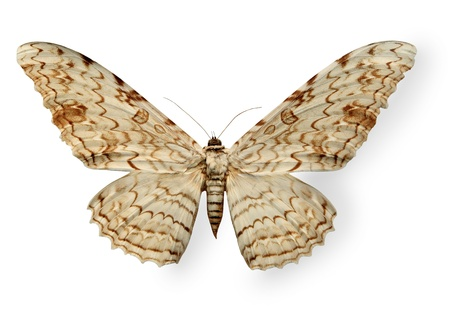 Beige leopard butterfly isolated on white photo