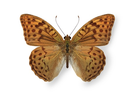 mariposa: Yellow leopard butterfly isolated on white Stock Photo