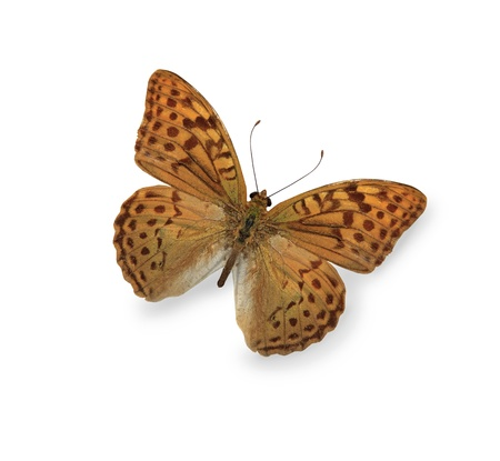 Yellow leopard butterfly isolated on white photo