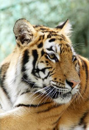 Ussuriisk tiger