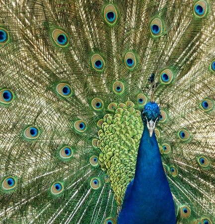 peacock eye: Peacock raise his feathers