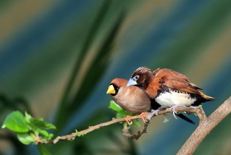 songbird: Small songbird on a branch (Amadina) Stock Photo