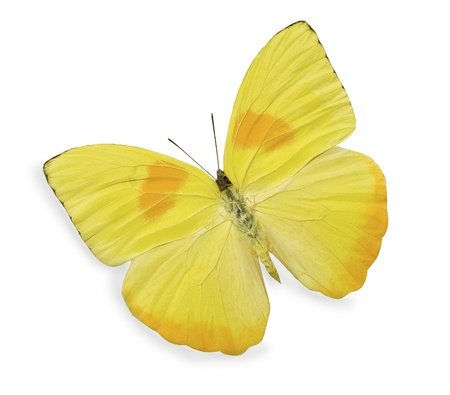 white butterfly: Yellow butterfly isolated on white