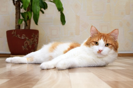 eyes looking down: cute red and white cat lying on the floor Stock Photo
